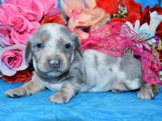 AKC Champion Bloodline Blue Cream Dapple Miniature Dachshund Puppies Available