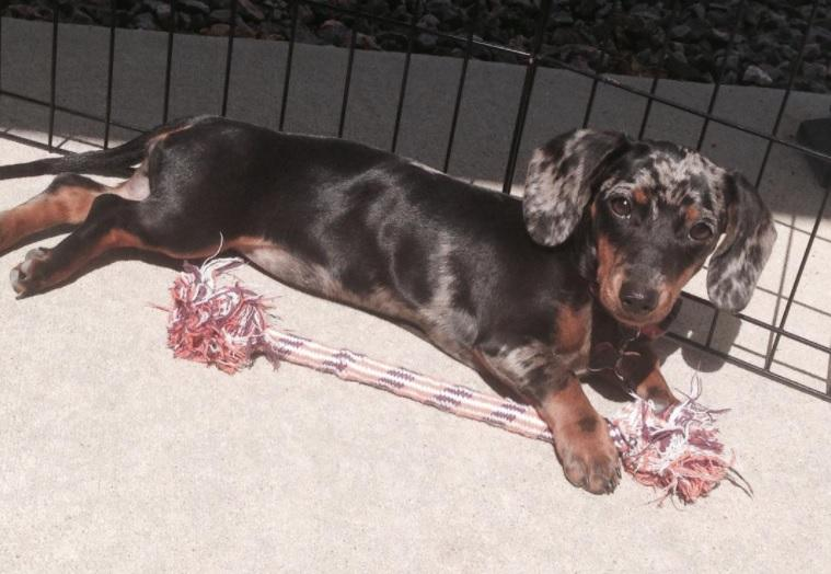 References for Mary's Cocker Haven from Previous Miniature Dachshund Litters