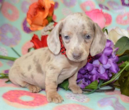 AKC Miniature Dachshund Puppies in Colorado