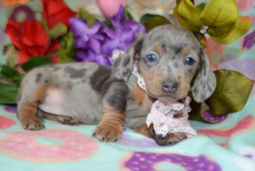 Female AKC Miniature Dachshund Puppy