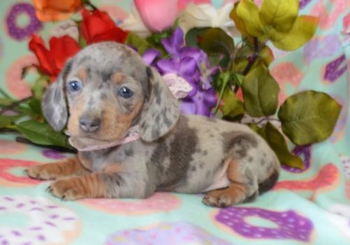 Blue Dapple Dachshund Puppy