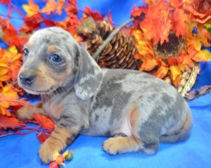 Mary's Taco Tuco Doggie (SIRE) Blue Tan SH & Mary's Whispering Willow (DAM) Blue Cream Dapple SH
