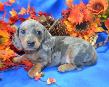 AKC miniature dachshunds puppies available