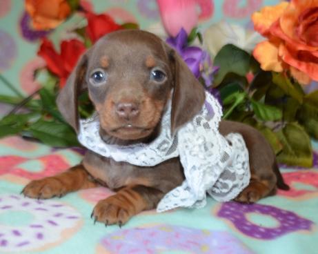 Wonderful Miniature Dachshund Puppies