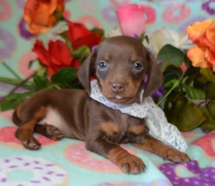 Chocolate Tan SH AKC miniature dachshund puppy