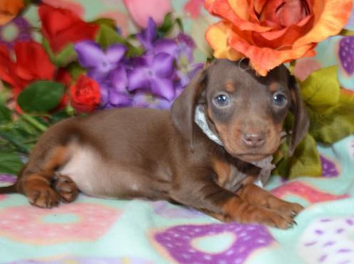 Chocolate Tan SH Miniature Dachshund Puppy