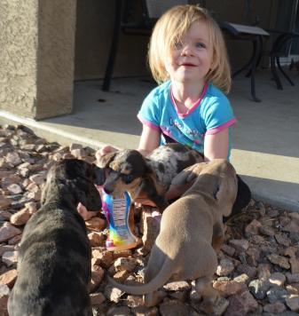 family raised AKC Miniature Dachshund Pups