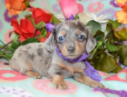 Female Blue Dapple LH Miniature Dachshund Puppy