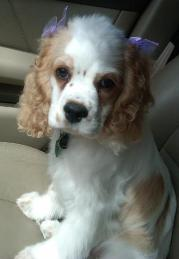 Cocker Spaniel Puppy with bows in her ears