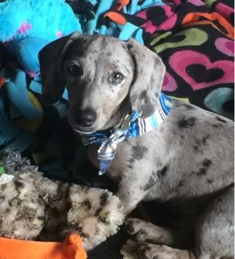 AKC Champion Bloodline Miniature Dachshund Puppies Available