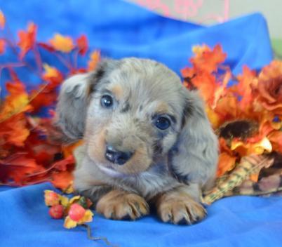 Male AKC Miniature dachshund puppies near me