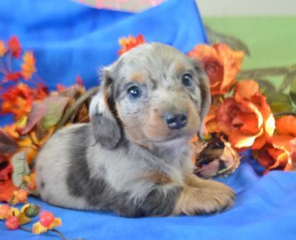Male blue dapple long hair miniature dachshund puppies for sale near me