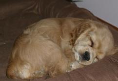 American AKC Puppy Sleeping