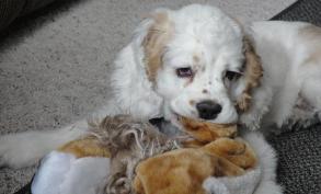 American Cocker Spaniel puppy for sale