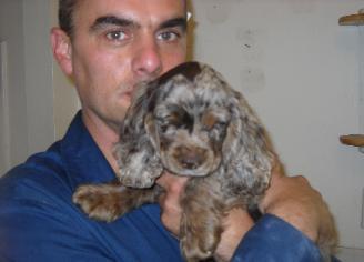 Champion Bloodline Cocker Spaniel Puppy