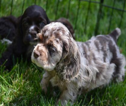 American Cocker Spaniel Puppies for sale near me