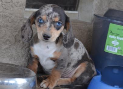 Blue eyed Miniature Dachshund Puppy