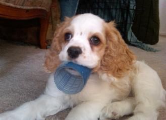 Cocker Spaniel puppy playing with curler