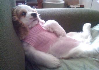 cocker spaniel puppy in a pink sweater