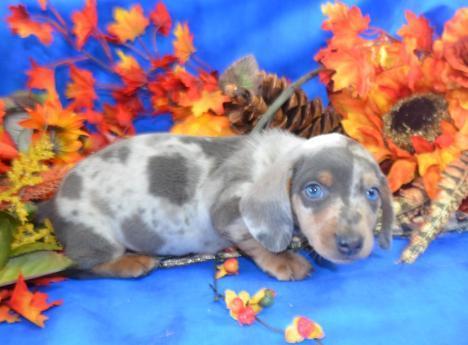 Jasper miniature dachshund