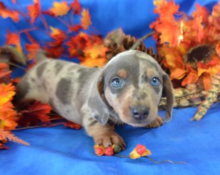 Mary's Cocker Haven Miniature Dachshund Puppies for sale