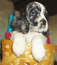 Merle Cocke Spaniel Puppy in a basket