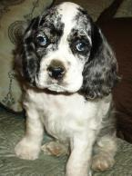 Merle Cocker Spaniel Puppies for Sale