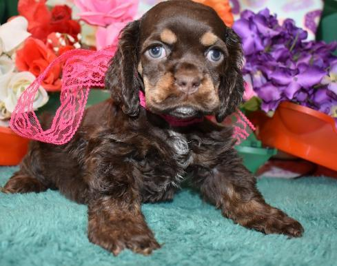 Chocolate Merle cocker spaniel puppy with eyebrows