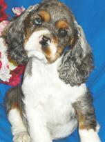 Merle AKC Cocker Spaniel Pups