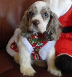 Cocker Spaniel Puppies for Christmas