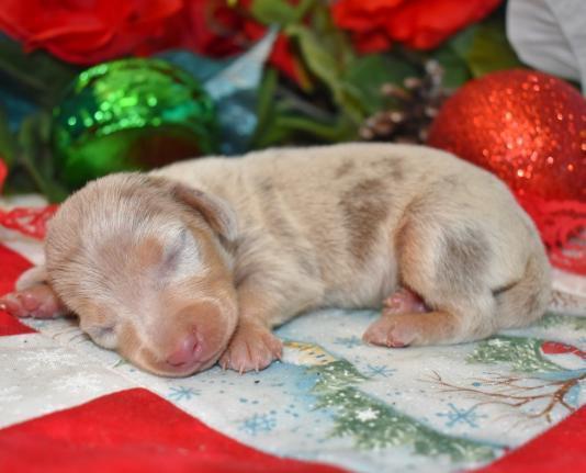 miniature dachshund puppies in colorado