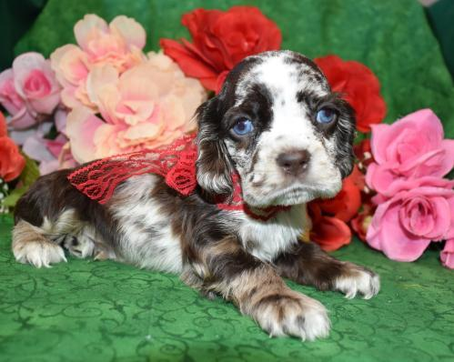 AKC Male Calico Chocolate Merle Cocker Spaniel Puppy for Sale in Colorado