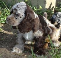 Merle Puppies - Cocker Spaniels