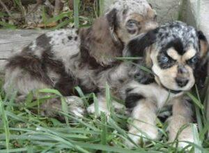 Merle Puppies - Cocker Spaniel Puppies laying together