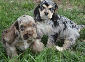 Merle Puppies - Cocker Spaniel Puppies Playing