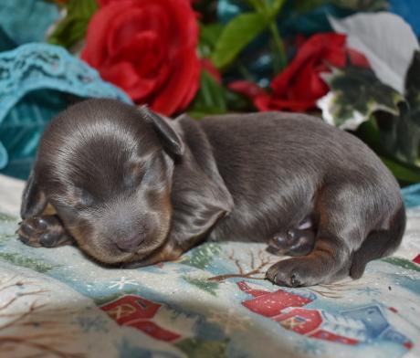 Male Blue Tan LH Miniature Dachshund Puppies for sale