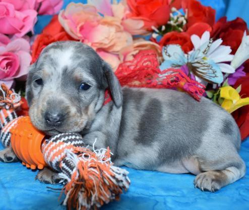 AKC Champion Bloodline SH Blue Cream Dapple Miniature Dachshund Puppies Available