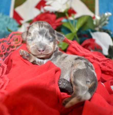 Blue Crea Dapple SH Miniature Dachshund Puppies