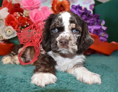 Chocolate Merle cocker spaniel puppy
