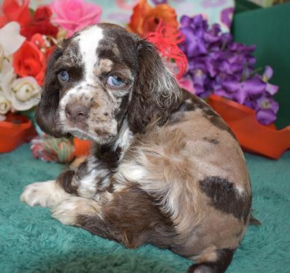 AKC Chocolate Merle cocker spaniel puppy for sale
