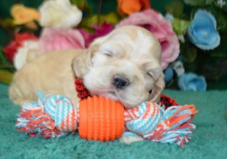 silver buff AKC cocker spaniel puppy