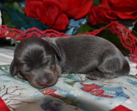 AKC Male Blue Tan LH Miniature Dachshund Puppies for sale