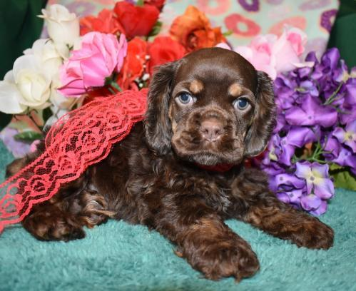 litter of cocker spaniel puppies for sale