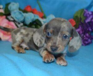 Merle Puppies - Miniature Dachshund Puppies