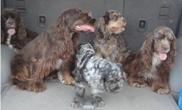 AKC Cocker Spaniels in the back of a car