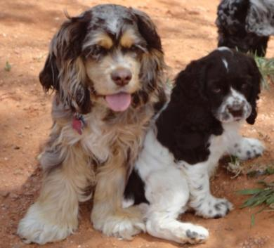 upcoming litters of Cocker Spaniel Puppies at Mary's Cocker Haven