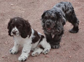 Different colors of Cocker Spaniels