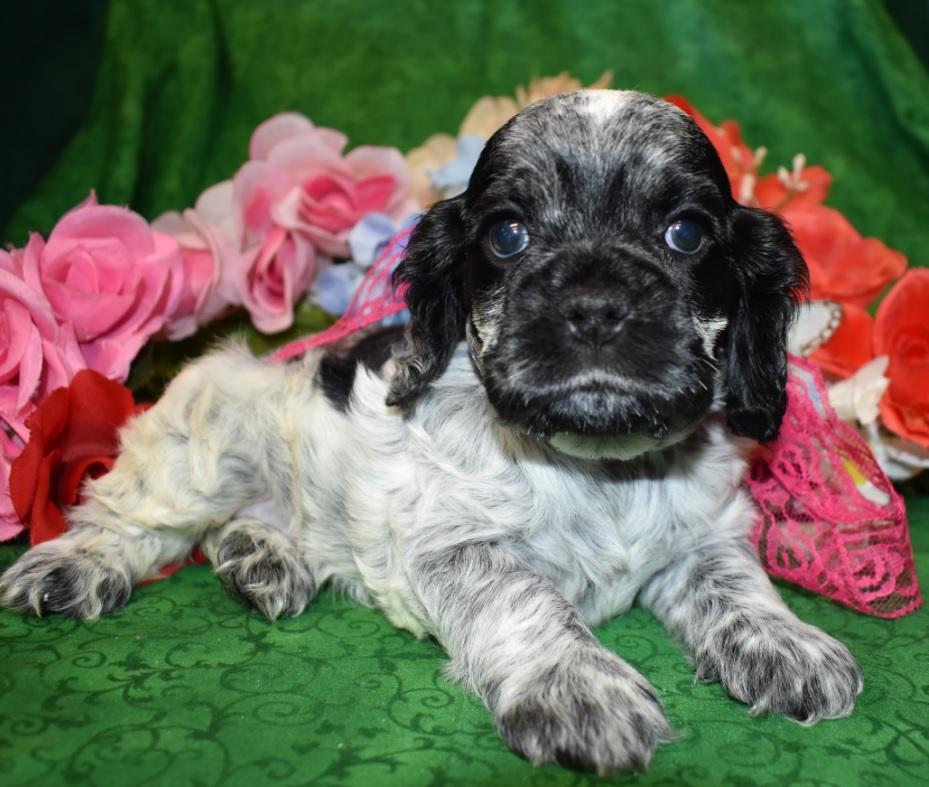 AKC Blue Roan Cocker Spaniel Puppy