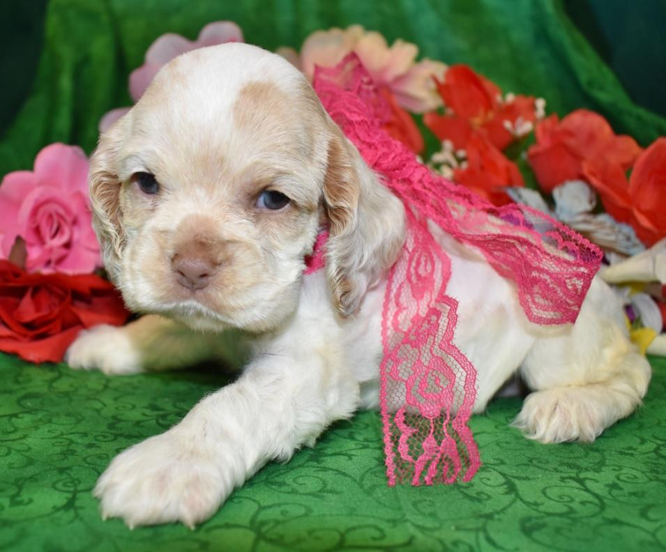 AKC Red Roan Cocker Spaniel Puppies for sale