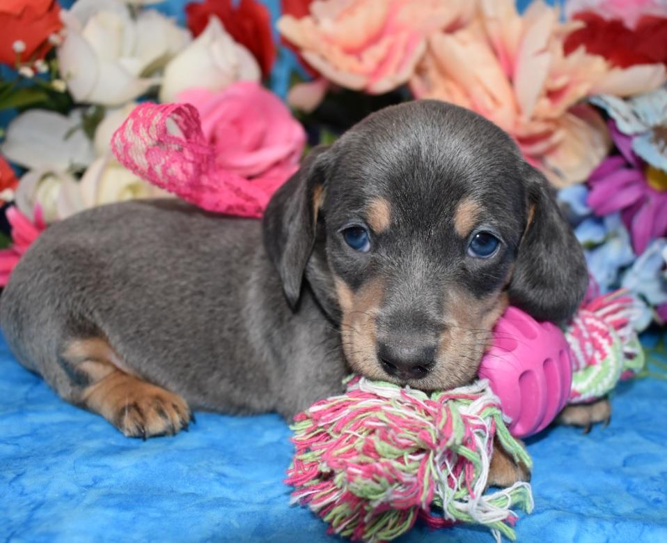 female blue tan smooth coat miniature dachshund puppy